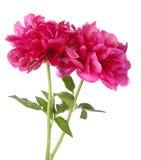 Rote Pfingstrosenblume lokalisiert Lizenzfreies Stockfoto