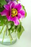 Rote Pfingstrosenblume mit grünen Blättern Lizenzfreies Stockbild