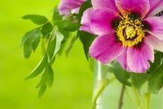 Rote Pfingstrosenblume mit grünen Blättern Lizenzfreie Stockfotos