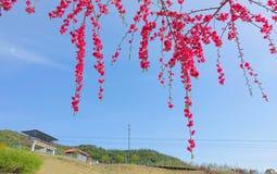 Rote Pfirsichblumen Lizenzfreie Stockfotografie