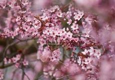 Rote Pflaume Blossomsã Stockbilder