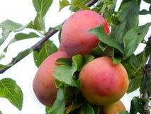 Rote Pflaume Große, saftige, sehr geschmackvolle Früchte lizenzfreies stockbild