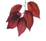 Rote Pflaumenblätter lokalisiert auf einem weißen Hintergrund Purpurrotes Blatt Schönes und buntes Laub auf einer Niederlassung E Stockbild