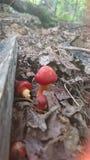 Rote Pilze Stockfotografie