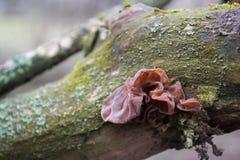 Rote Pilze in einer Barke auf einem Baum lizenzfreie stockfotos