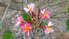 Rote Plumeriablumen Stockbild