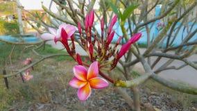 Rote Plumeriablumen Stockfotografie