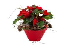 Rote Poinsettia Lizenzfreie Stockfotografie