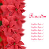 Rote Poinsettia lizenzfreie stockfotos