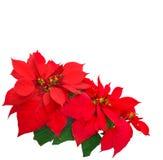 Rote Poinsettia Stockfotos