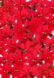 Rote Poinsettia - Hintergrund Lizenzfreie Stockfotos