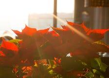 Rote Poinsettia im Sonnenschein Lizenzfreie Stockbilder