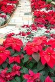 Rote Poinsettias auf einem Ziegelsteinweg lizenzfreies stockbild