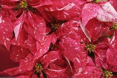 Rote Poinsettias mit Rosa lizenzfreie stockbilder