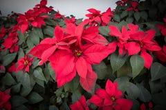 Rote Poinsettias Weihnachtsblume stockfotos