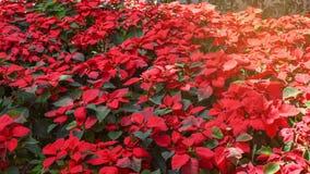 Rote Poinsettias Weihnachtsblume stockbild