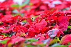 Rote Poinsettias Weihnachtsblume stockfoto