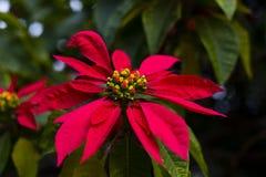 Rote Pointsetia-Blüte auf einem grünen Hintergrund Stockbilder
