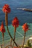 Rote Poker-Blumen Stockbilder