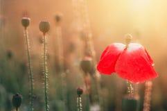 Rote Poppie-Blume auf dem Gebiet Lizenzfreies Stockbild