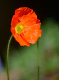 Rote Poppy Flower Stockfotos