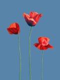 Rote Poppy Flower Isolated auf einem blauen Hintergrund lizenzfreie stockfotos