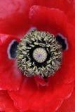Rote Poppy Flower With Stamen Lizenzfreie Stockfotos