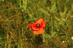 Rote Poppy Seeds Stockfotos