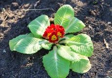 Rote Primel acaulis Blumen im Garten Stockbild
