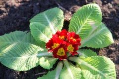 Rote Primel acaulis Blumen im Garten Stockfotos
