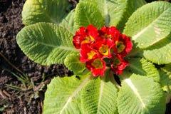 Rote Primel acaulis Blumen im Garten Lizenzfreie Stockbilder