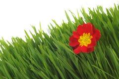 Rote Primel auf dem grünen Gras Lizenzfreies Stockfoto