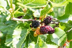 Rote purpurrote Maulbeeren auf dem Baum Frische Maulbeere Reife Maulbeeren auf der Niederlassung lizenzfreie stockfotografie