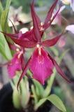 Rote purpurrote Orchidee von Indonesien lizenzfreies stockbild