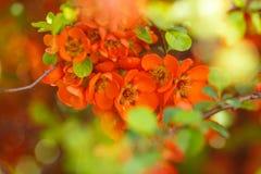 Rote Quittenblume des kleinen Fingers Lizenzfreies Stockfoto