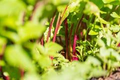 Rote Rübe lässt das Wachsen im Garten Lizenzfreie Stockfotografie