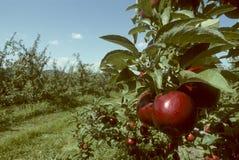 Rote Reichäpfel auf dem Baum in einem Obstgarten Lizenzfreie Stockfotografie