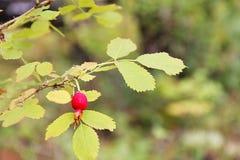 Rote reife Beere der wilden Rose wachsend auf einem Busch umgeben durch grüne Blätter Foto eingelassener Wald im Frühherbst Lizenzfreies Stockbild