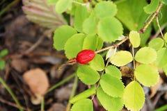 Rote reife Beere der wilden Rose wachsend auf einem Busch umgeben durch grüne Blätter Foto eingelassener Wald im Frühherbst Lizenzfreie Stockbilder