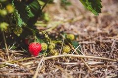 Rote reife Erdbeere wiegt auf einer Niederlassung auf dem Gebiet lizenzfreies stockbild
