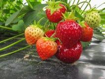 Rote reife Erdbeeren in einem hölzernen Korb auf den alten Brettern auf dem Hintergrund Stockfotos