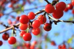 Rote reife Kirsche auf Baumast Stockbilder
