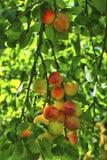 Rote reife Pflaumen auf dem Baum Stockfotos
