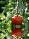 Rote reife Tomate auf Rebe Stockfotografie