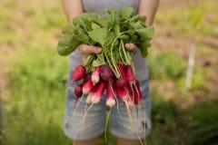 Rote Rettiche Landwirt mit Ernterettichen Frischgemüse des Bauernhofes vom Garten, Konzept der biologischen Landwirtschaft stockbild