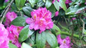 Rote Rhododendronblume Kamerabewegung macht es möglich, die Blume auf allen Seiten der Blume zu sehen Lizenzfreies Stockfoto
