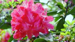 Rote Rhododendronblume Kamerabewegung macht es möglich, die Blume auf allen Seiten der Blume zu sehen Lizenzfreie Stockfotografie