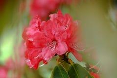 Rote Rhododendronblume mit grünem defocused Hintergrund lizenzfreies stockbild