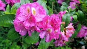 Rote Rhododendronblumen im Garten Lizenzfreie Stockfotos