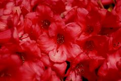Rote Rhododendronnahaufnahme Stockfotos